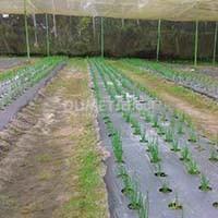 Tingkatkan Panen Bawang Putih dengan Metode Teknologi Demonstration Plot